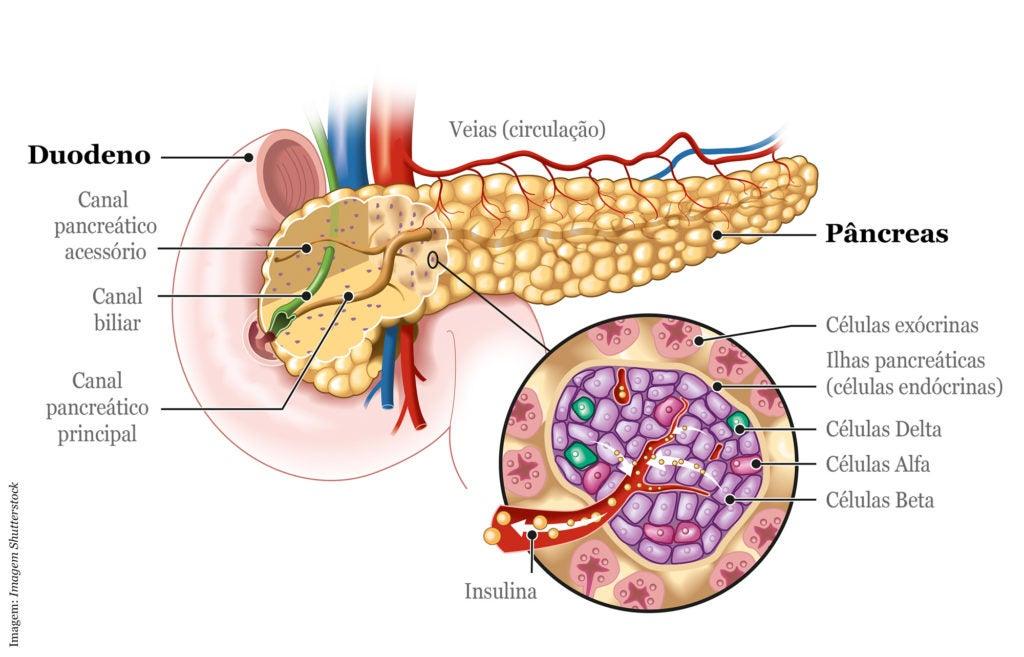 Anatomia do pâncreas