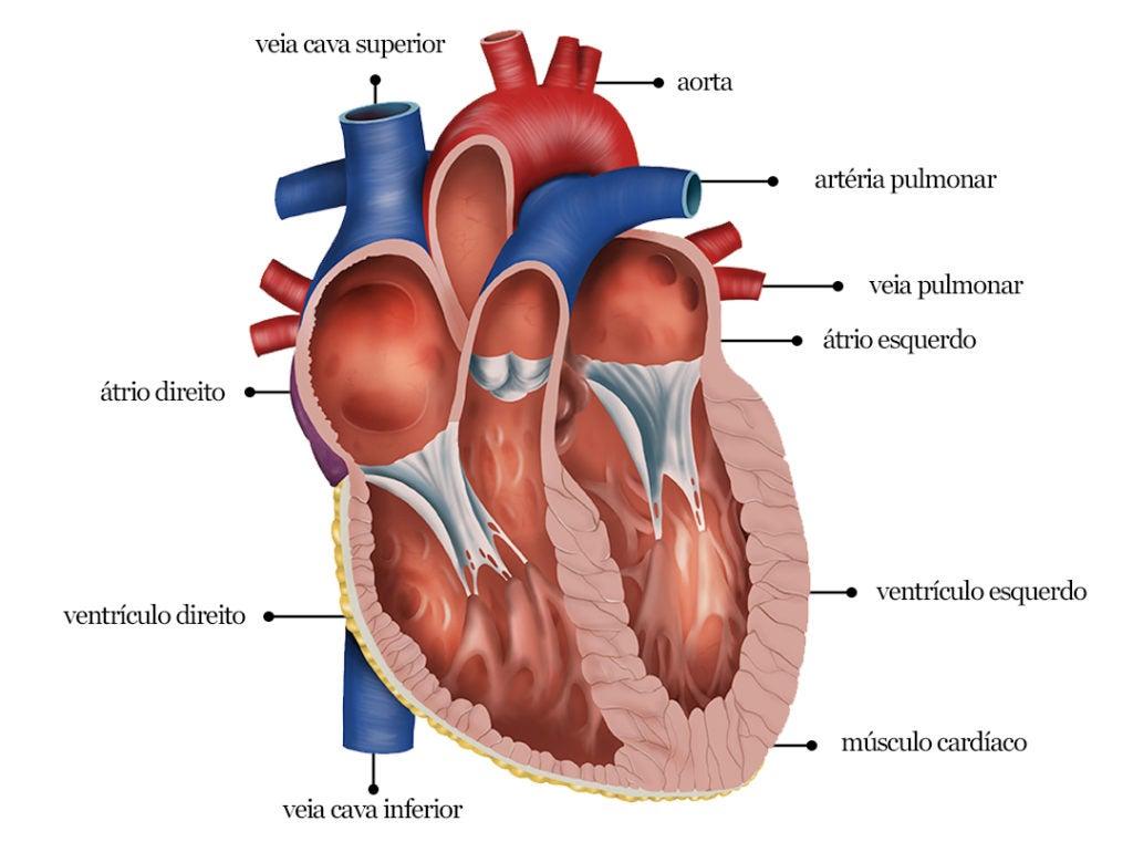 Anatomia do coração: átrios e ventrículos
